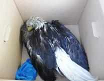 Bald Eagle after being rescued from the Chesapeake Bay